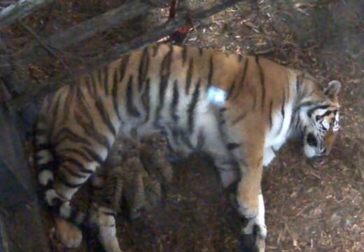 Tigerfødsler i Dyreparken